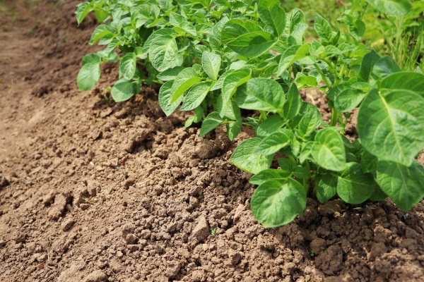 rows of green potato plant in