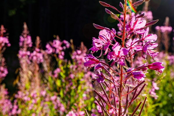 fireweed flowers are blooming in the