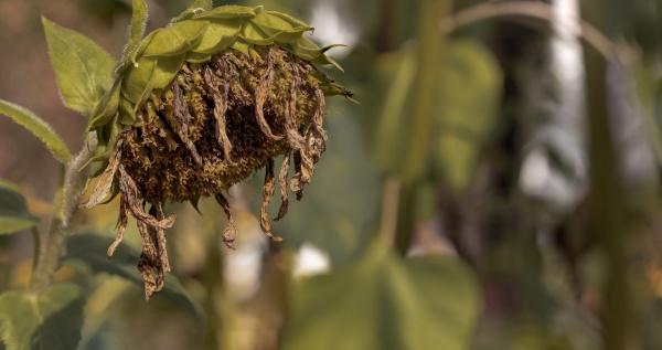 dry overblown sunflower