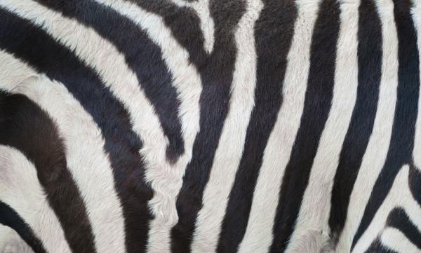 zebra skin zebra fure