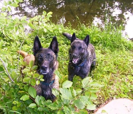 malinois u dutch shepherd dog