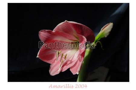 amarillis 2004