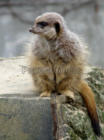 meerkats feb 2004