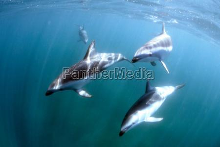 dolphins, underwater - 52558