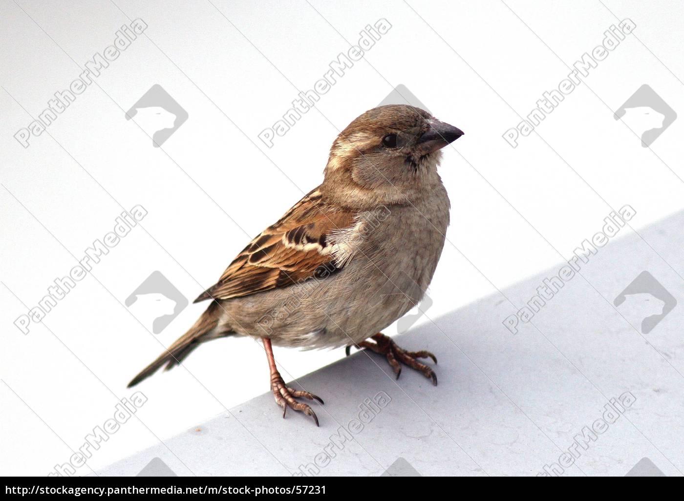 sparrow - 57231