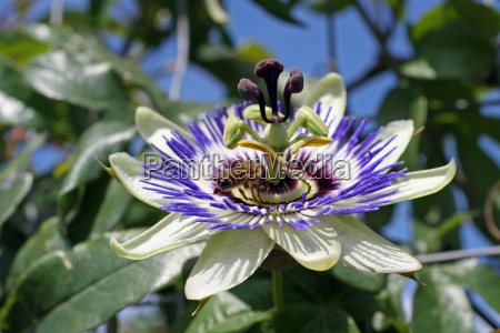 passionflower or passion of christ