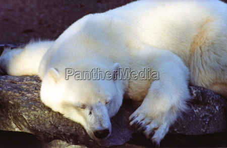 polar, bear - 108876