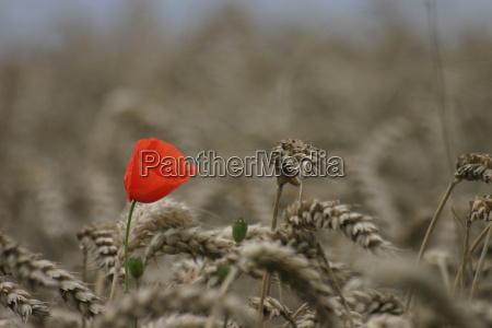 poppies, in, wheat, field - 114063