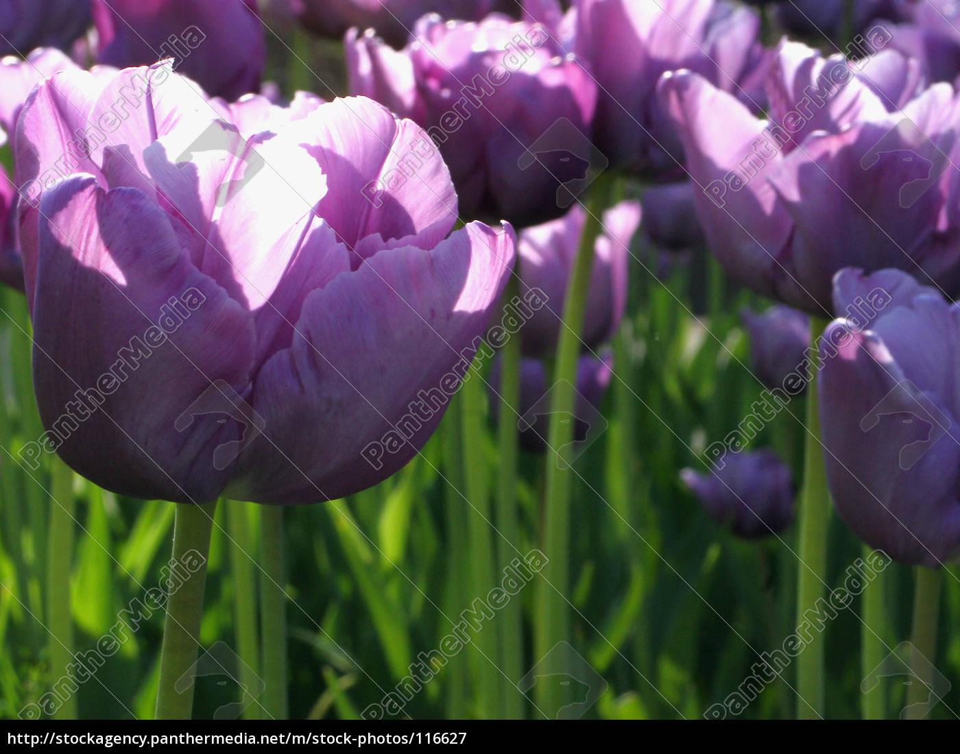tulip - 116627