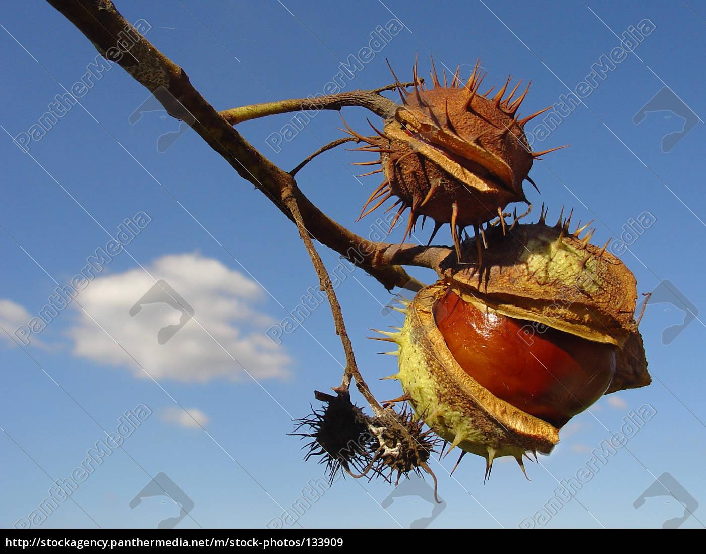 chestnuts - 133909