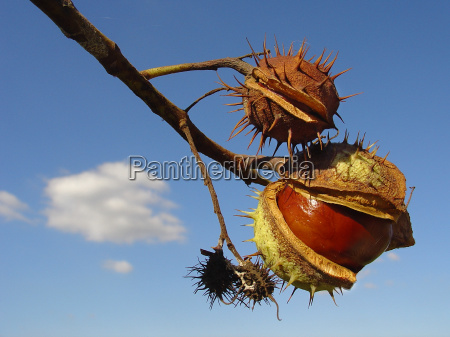 chestnuts - 133909