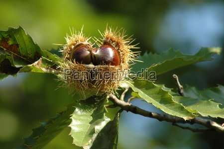 roasted simply delicious chestnuts