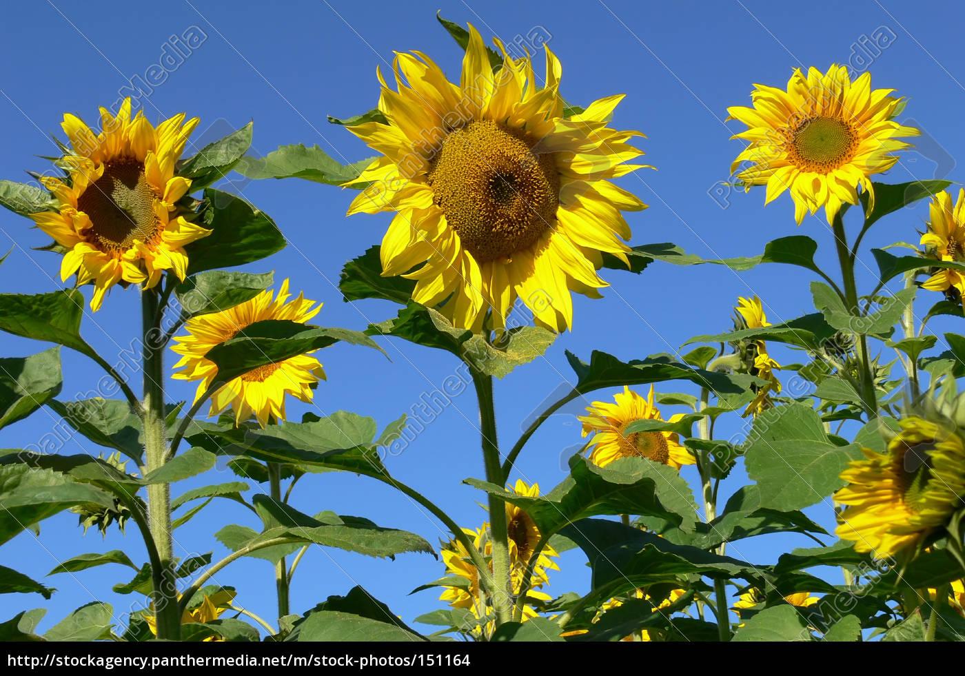 sunflower, iv - 151164
