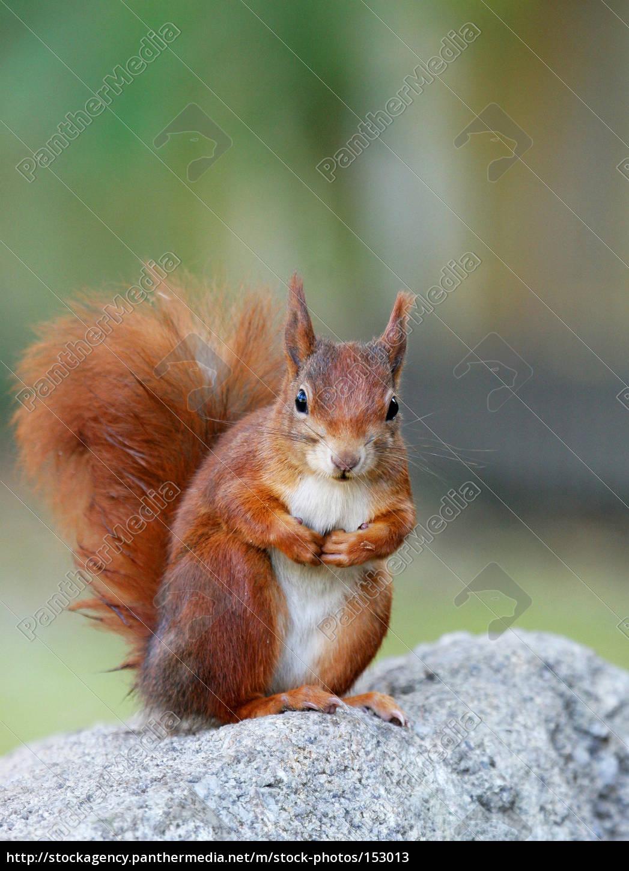 still, n, squirrel - 153013
