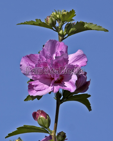bauer rose