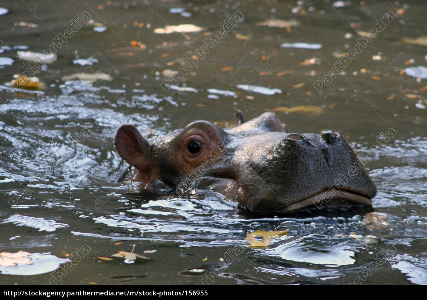 hippo, baby - 156955