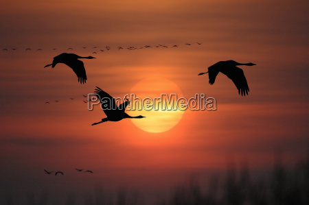 migratory, birds - 157176