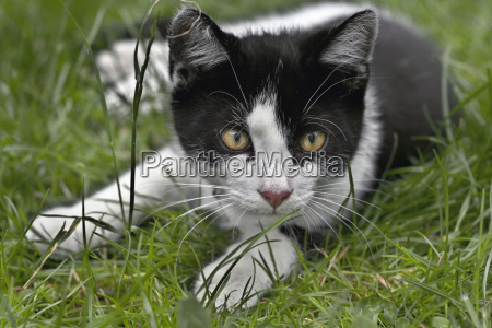 garden tiger