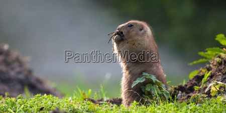 prairie, dog, in, the, evening, light - 161605