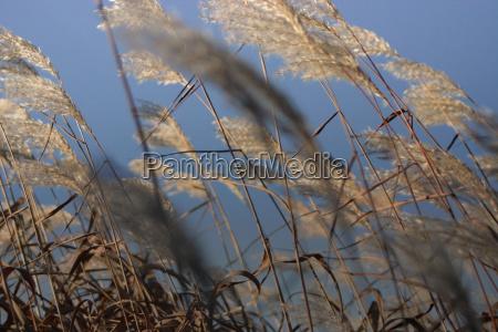 wind grass