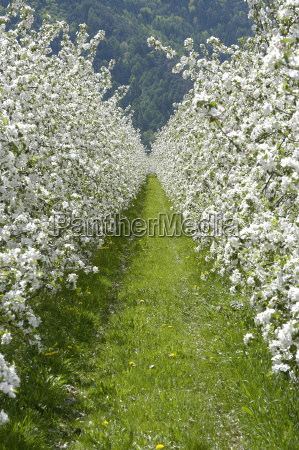 apple, blossom, 5 - 168721