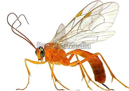 sickle, wasp - 173743