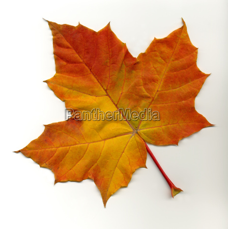 maple, leaf, 3 - 174938