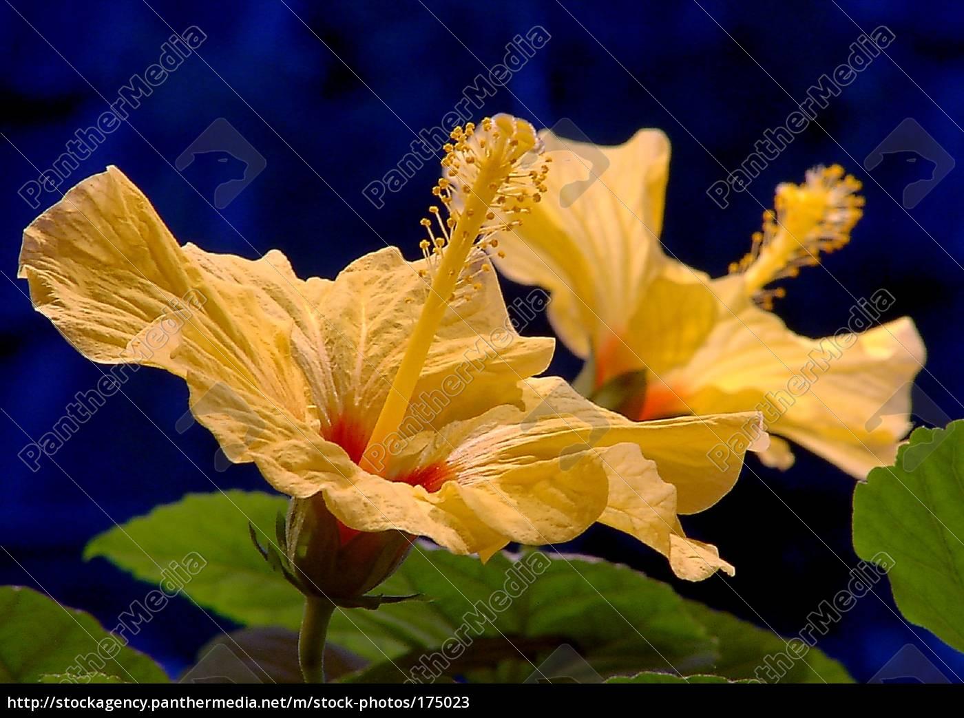 hibiscusblüte - 175023
