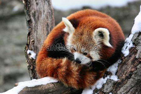 little, panda - 176620