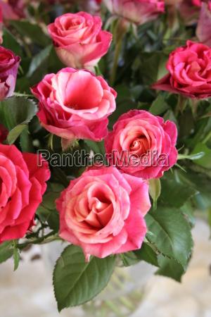 rosenstrauss - 176034