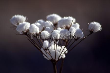 snow, flower - 176699
