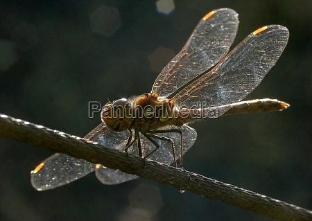 dragonfly backlit