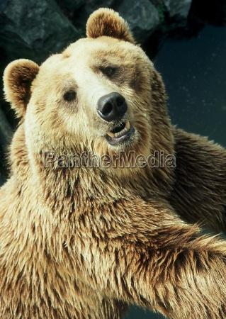 perigo animal urso marrom dentes animais