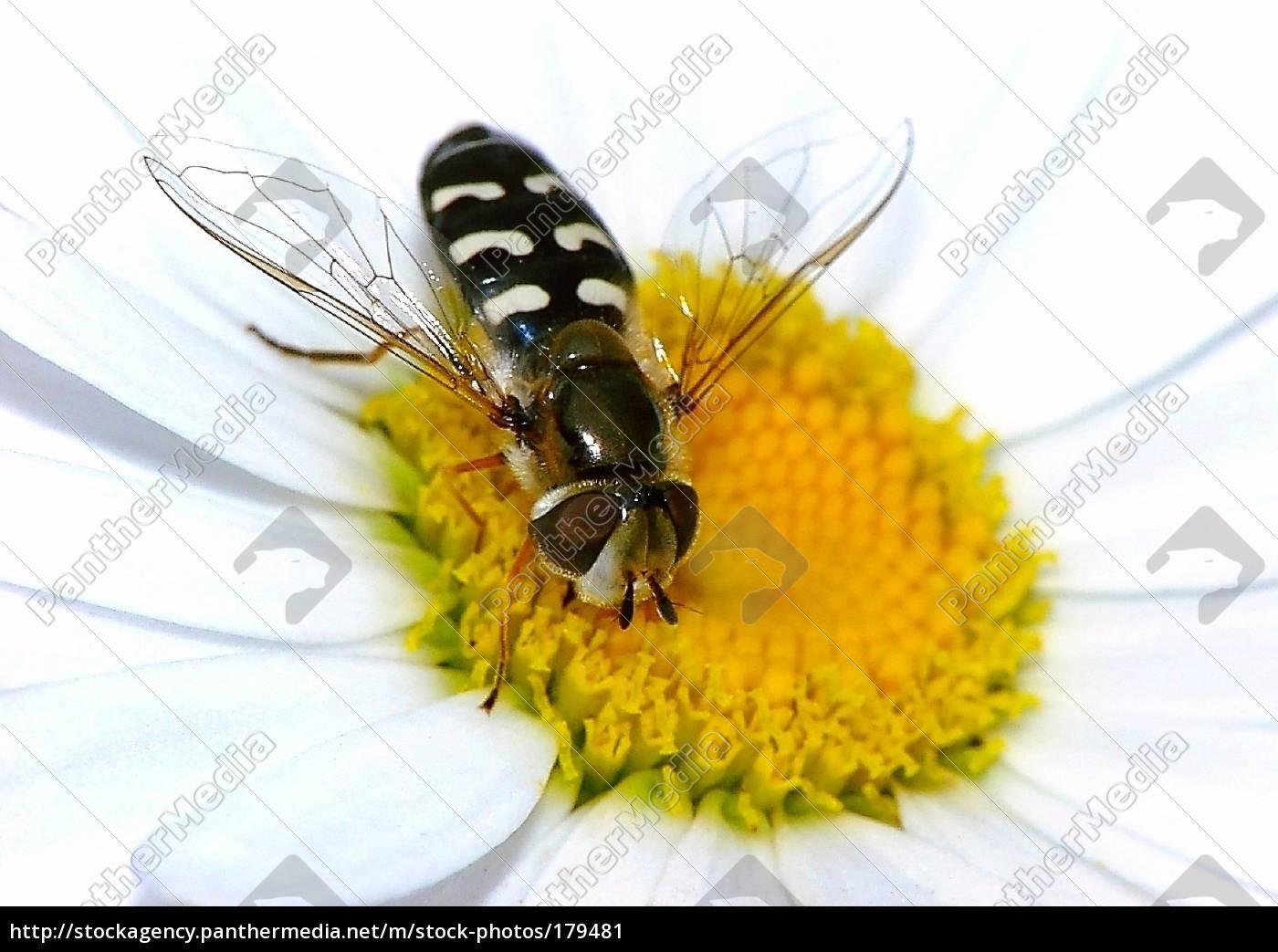 hoverfly, on, a, daisy - 179481