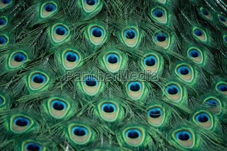 peacock - 180332