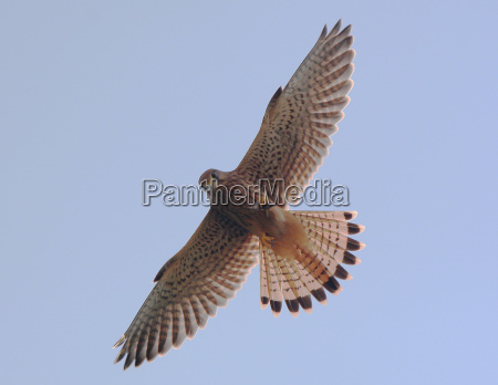 hawk with catch wildlife