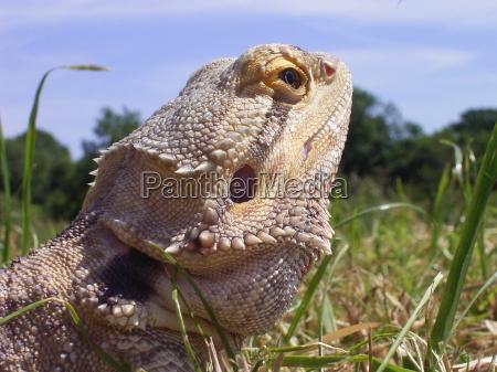 animals reptiles iguanas