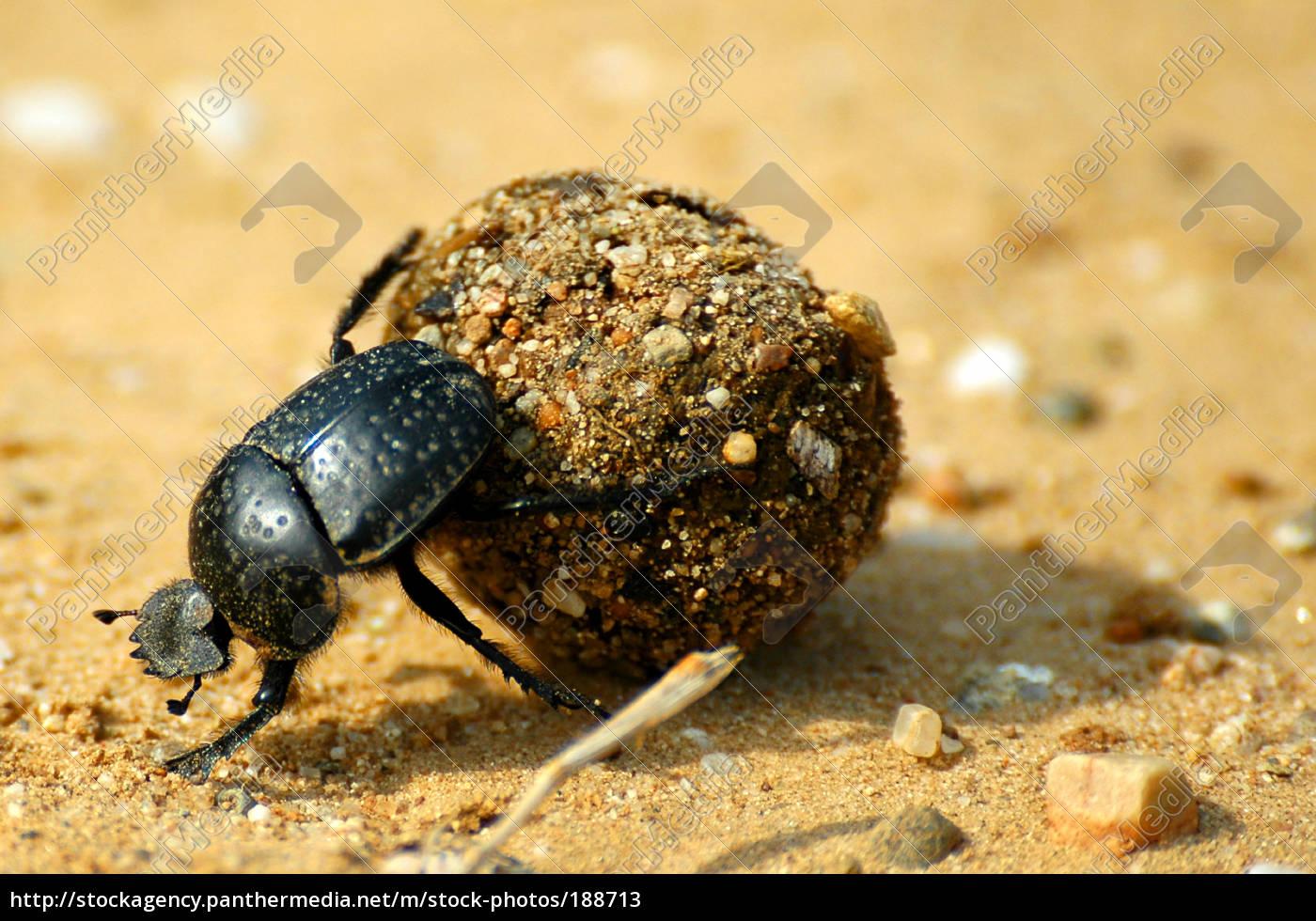 dung, beetle - 188713