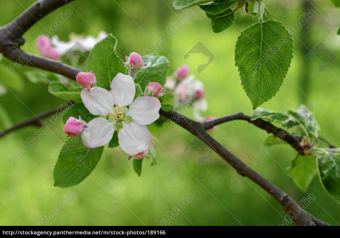 apple, blossom - 189166