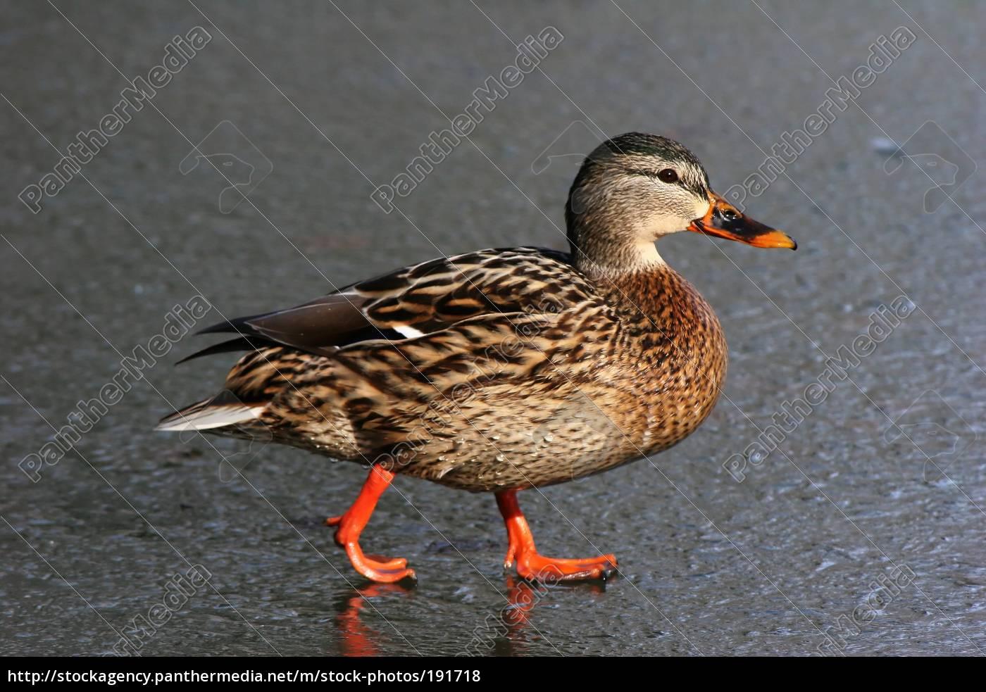ice, duck - 191718