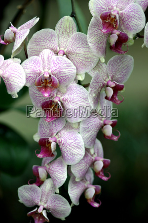 orchid - 199598