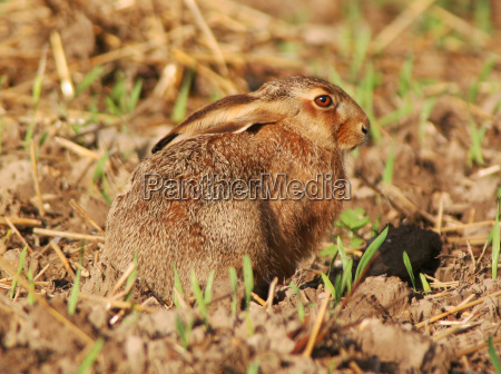 hare wildlife