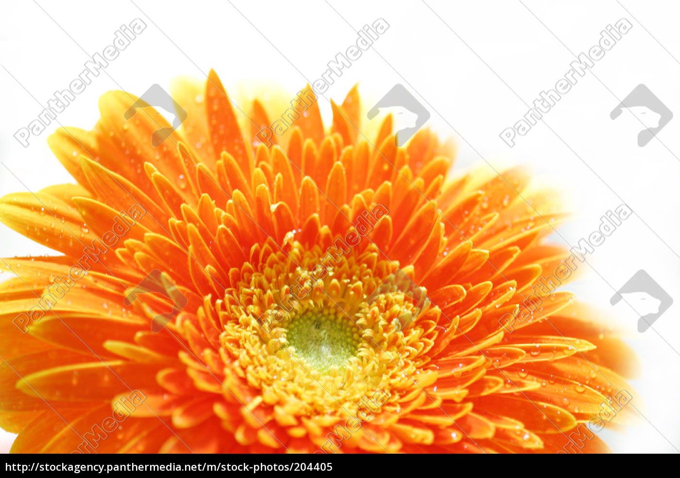 gerbera, flower - 204405
