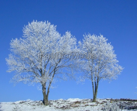2 trees in white