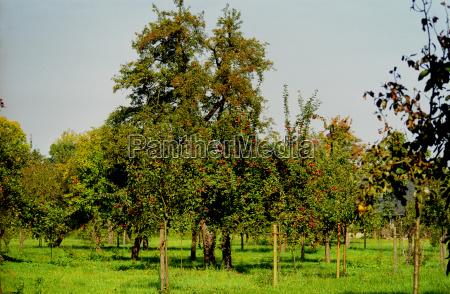preservation of old varieties of apples