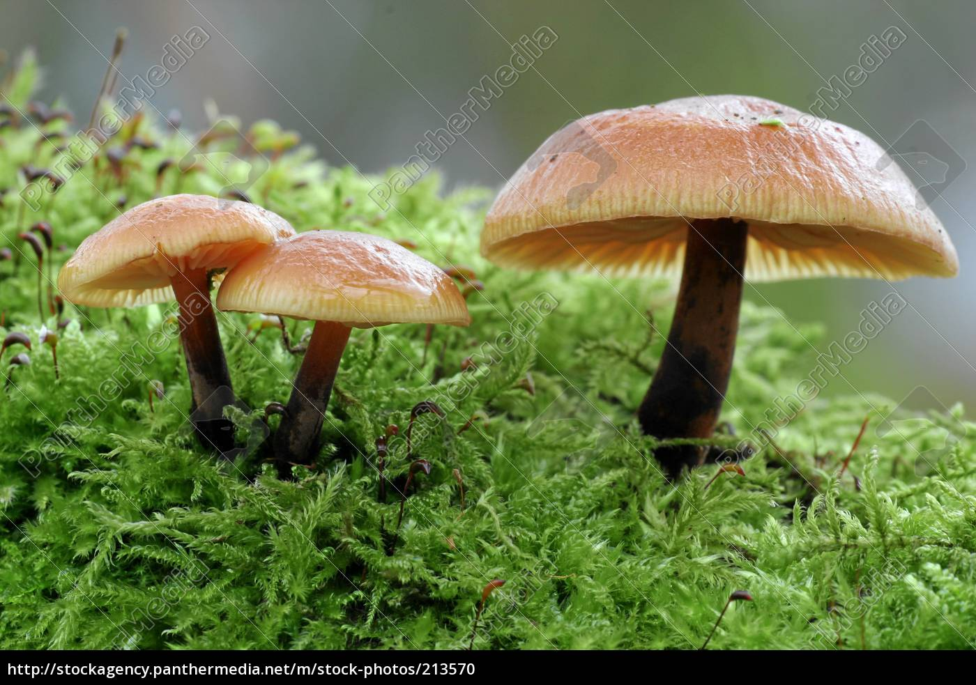 mushroom, family - 213570