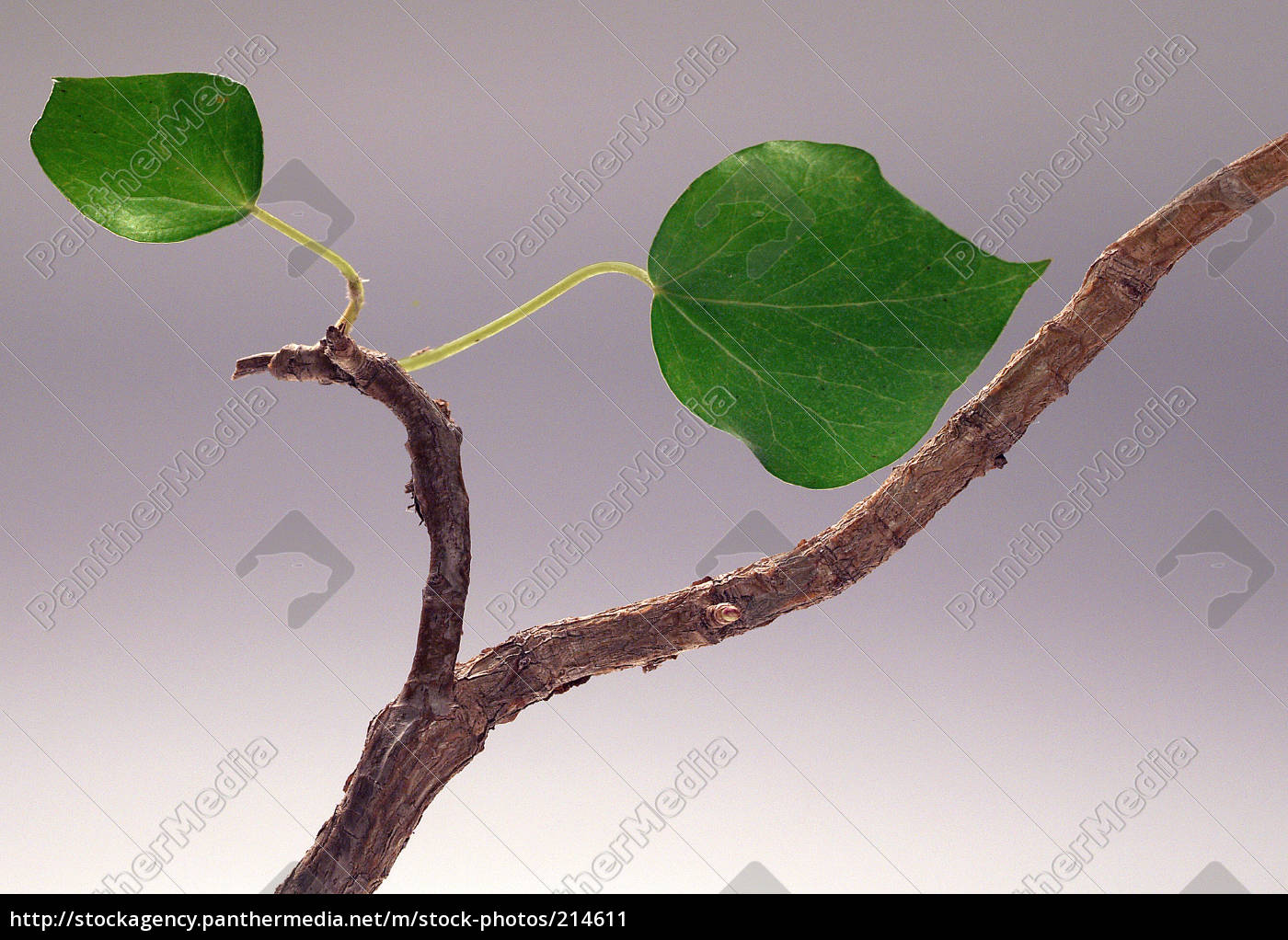 ivy, still, life - 214611