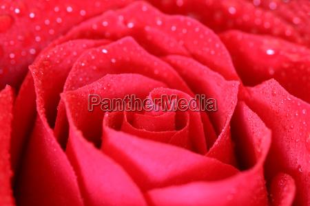 wet, rose - 215093