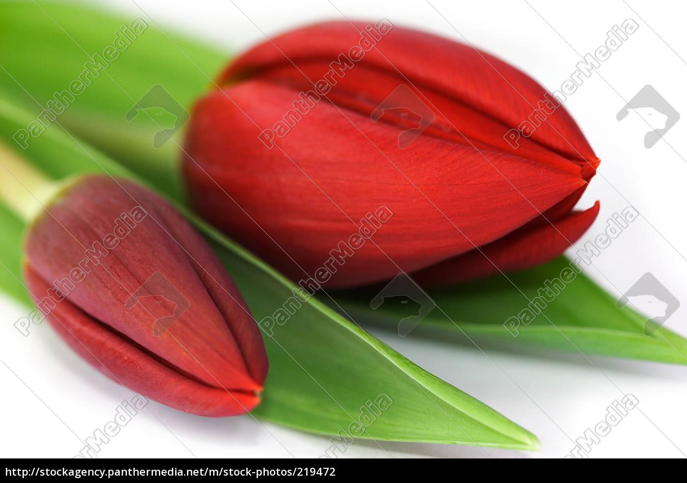 tulipa, gesneriana - 219472
