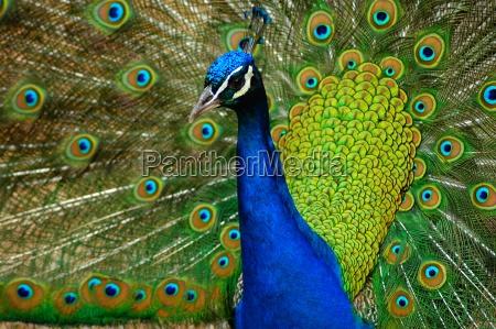 blue, peacock, (pavo, cristatus) - 220055